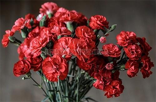 Ý nghĩa của hoa cẩm chướng trong ngày 20/11