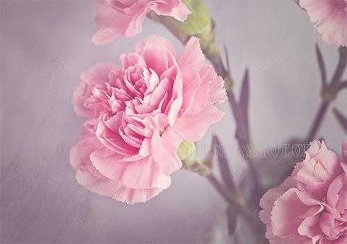 Ý nghĩa của hoa cẩm chướng hồng trong ngày 20/11